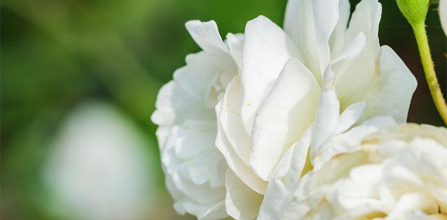 closeup of a beautiful white memorial flower